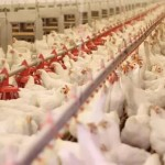 Nigeria: Kaduna State's Poultry Project Will Produce One Million Eggs Weekly