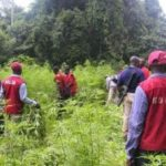 NDLEA arrests 60-year-old woman, others for farming cannabis in Edo