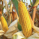 New Maize Disease Surfaces, Threatens Food Sufficiency