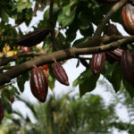 Export Rubber, Cocoa, Palm Oil to U.S., EU Tells Nigeria