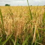 BATN's Boost to Rice Farming