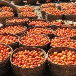 Consumers Abandon Fresh Tomato in Sokoto