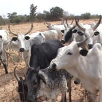 Village generates electricity from cow faeces
