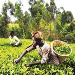 Harvest Crashes Prices of Foodstuffs in Kano