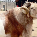 Nigeria's economic woes hit salah ram sales