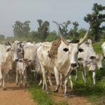 'Lagos consumes N1.6bn worth of cattle daily'