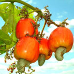 Leadership crisis limiting cashew industry's growth, says NCAN