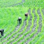 Farmers record 27 tonnes/ha on improved weed control