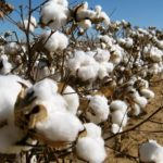 Govt endorses two varieties of GM cotton for farmers